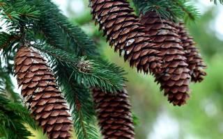 Какие бывают шишки у хвойных деревьев