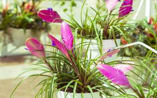 Тилландсия цветок как ухаживать