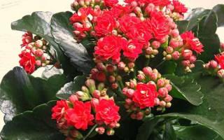 Комнатные цветы названия уход
