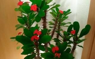 Цветок эуфорбия как ухаживать