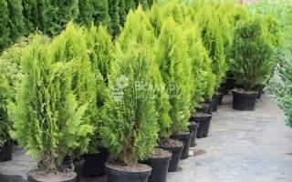 Выбираем хвойные растения для живой изгороди