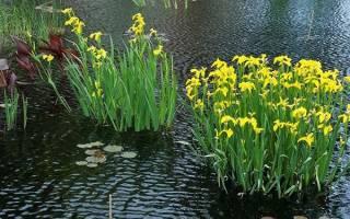 Ирис болотный уход осенью