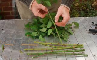 Как размножить розы черенками в домашних условиях в картошке