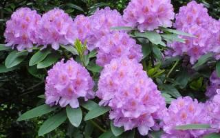 Рододендрон – описание цветка