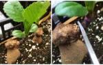 Как вырастить георгин из черенка