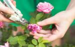 Как ухаживать за садовой розой