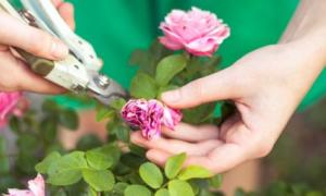 Розы как сажать и как ухаживать