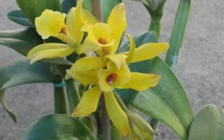 Орхидея ваниль в домашних условиях
