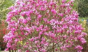 Магнолия лилиецветная нигра посадка и уход