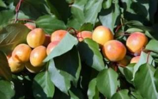 Как ухаживать за абрикосом осенью