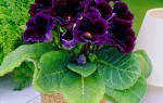Глоксиния как ухаживать за цветком