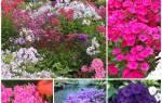 Цветы флоксы многолетние посадка и уход осенью