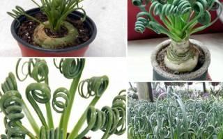 Альбука спиральная из семян