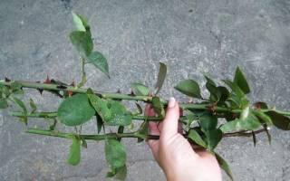 Выращивание черенков роз в домашних условиях