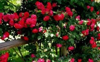 Уход за розами осенью подготовка к зиме плетистой розы