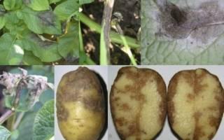 Обработка кустов картофеля от фитофтороза