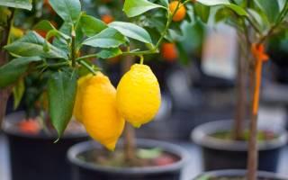 Лимон как надо ухаживать и как надо