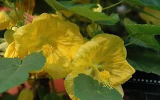 Комнатный цветок с мелкими желтыми цветочками название