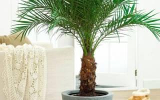 Пальмы виды и названия