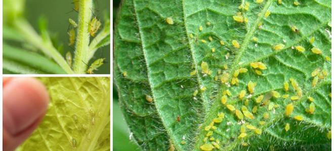Средства борьбы с тлей на комнатных растениях