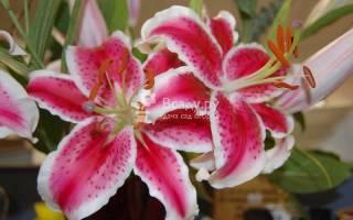 Сорт лилий барбадос необыкновенно красив
