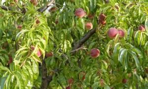 Как ухаживать за персиковым деревом