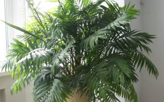 Пальма уход в домашних