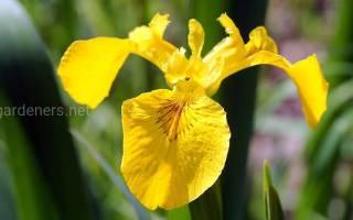 Ирис аировидный украсит побережье крупными цветами
