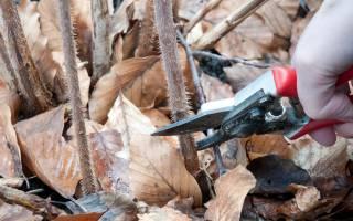 Уход за малиной сколько обрезать осенью или весной