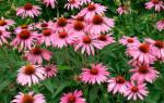 Многолетние цветы на даче и в саду