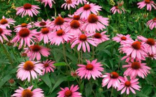 Красивые цветы на даче многолетники
