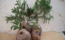Черенки туи проращивание в картофеле