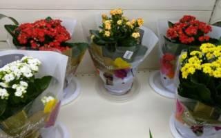 Как ухаживать за каланхоэ в домашних условиях после цветения