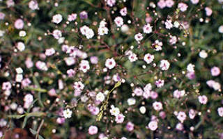 Гипсофила многолетняя уход осенью