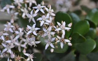 Когда цветет денежное дерево комнатное растение