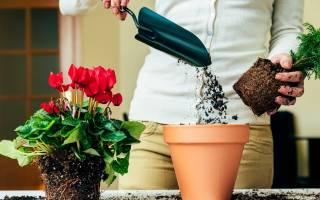 Можно ли пересаживать Комнатные цветы осенью