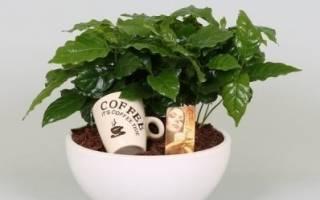 Как ухаживать за кофе растением