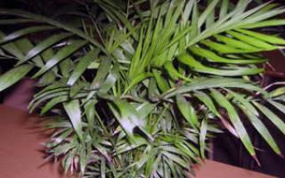 Как ухаживать за цветком хамедорея