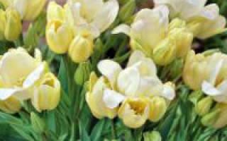 Корневая гниль луковиц тюльпанов
