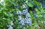 Как ухаживать за садовой голубикой осенью