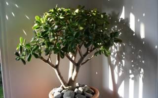 Как сформировать денежное дерево в домашних условиях
