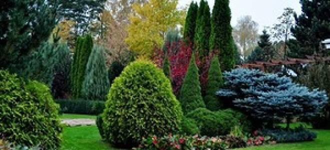 Хвойные деревья в дизайне сада