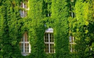 Декоративный виноград посадка и уход осенью