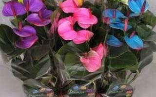 Цветы комнатные антуриум микс полив и уход и болезни