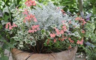 Можно ли сохранить цинерарию до весны
