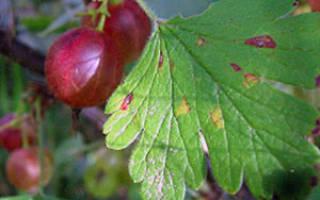 Крыжовник посадка осенью и уход в открытом грунте