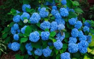 Изменение окраски соцветий гортензии