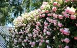 Плетистая роза посадка и уход осенью