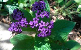 Цветок гелиотроп описание уход за растением