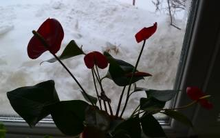 Уход за антуриумом осенью и зимой